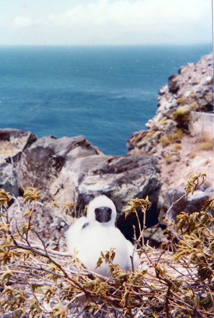 Booby chick atop Redonda 1984, Montserrat dimly visible in the distance