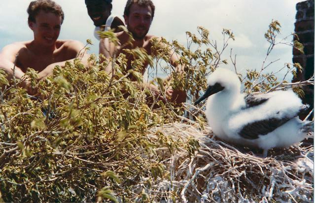 Redonda: nesting booby next to old cistern 1984